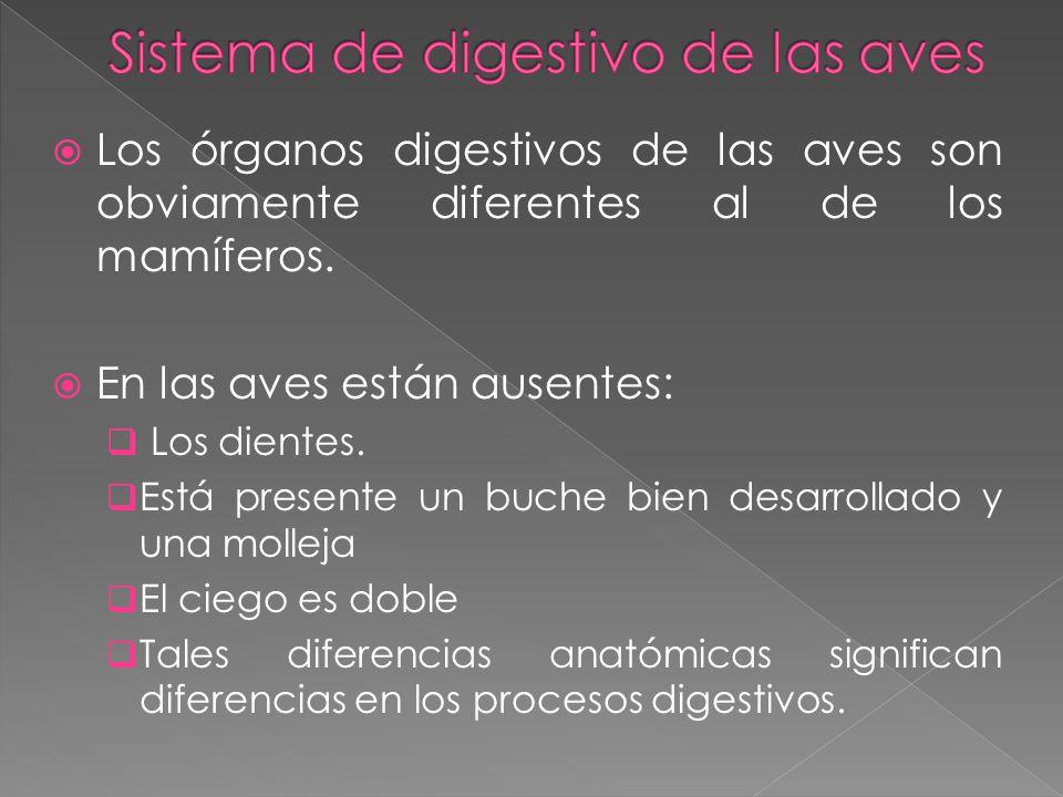 Los órganos digestivos de las aves son obviamente diferentes al de los mamíferos. En las aves están ausentes: Los dientes. Está presente un buche bien