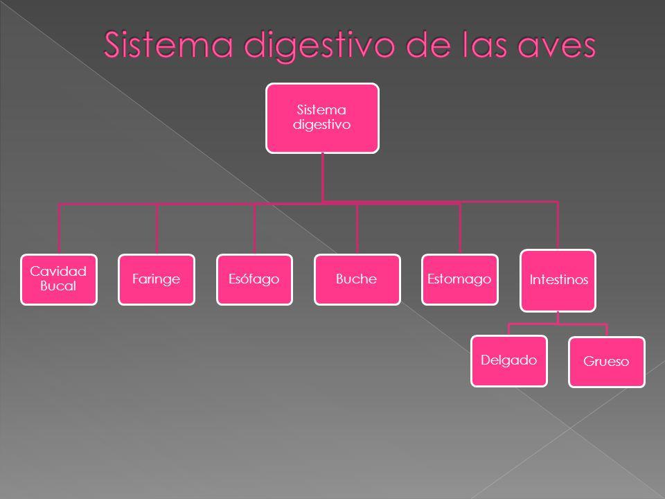 El duodeno es la primer porción y forma un asa alrededor del páncreas.