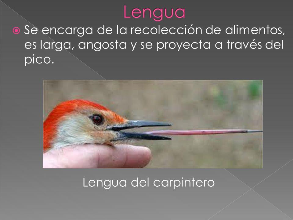 La lengua de las aves rapaces tiene un epitelio muy keratinizado para raspar la carne de sus presas.