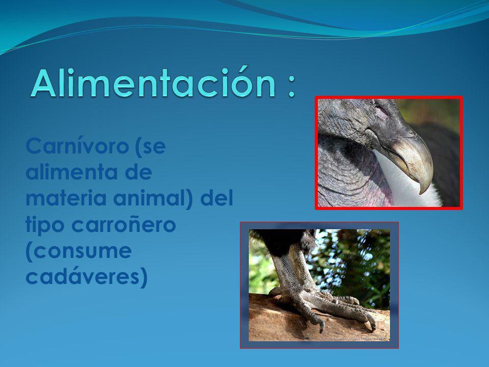 Carnívoro (se alimenta de materia animal) del tipo carroñero (consume cadáveres)
