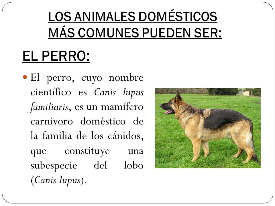 LOS ANIMALES DOMÉSTICOS MÁS COMUNES PUEDEN SER: El perro, cuyo nombre científico es Canis lupus familiaris, es un mamífero carnívoro doméstico de la f