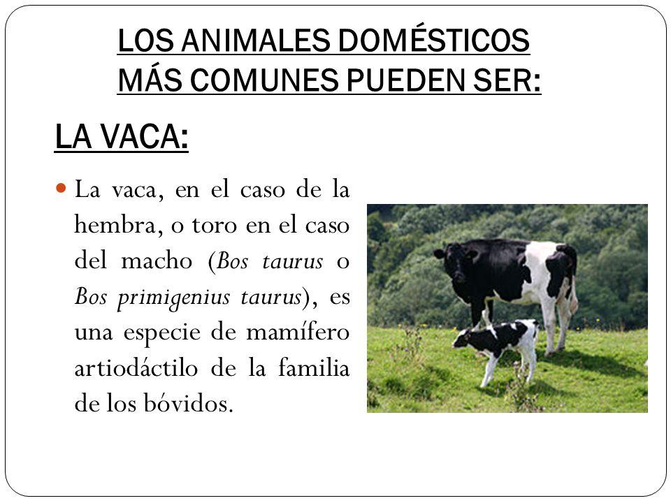 LOS ANIMALES DOMÉSTICOS MÁS COMUNES PUEDEN SER: La vaca, en el caso de la hembra, o toro en el caso del macho (Bos taurus o Bos primigenius taurus), e