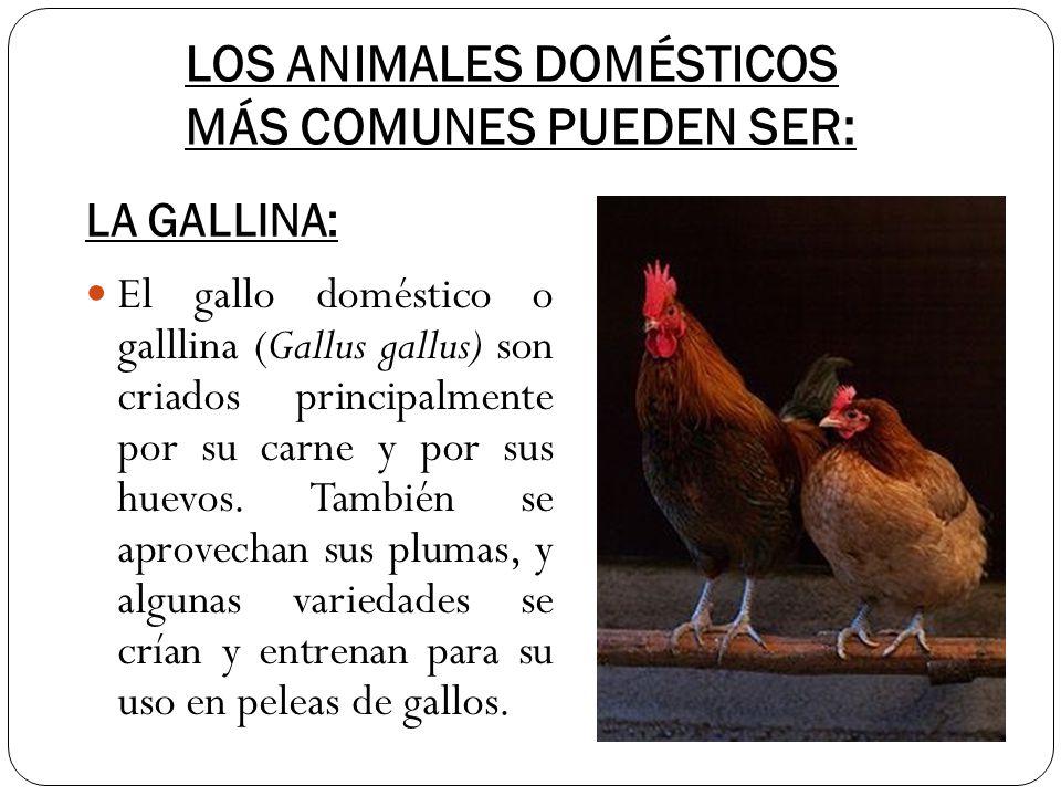 LOS ANIMALES DOMÉSTICOS MÁS COMUNES PUEDEN SER: El gallo doméstico o galllina (Gallus gallus) son criados principalmente por su carne y por sus huevos