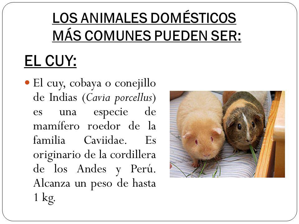 LOS ANIMALES DOMÉSTICOS MÁS COMUNES PUEDEN SER: El cuy, cobaya o conejillo de Indias (Cavia porcellus) es una especie de mamífero roedor de la familia