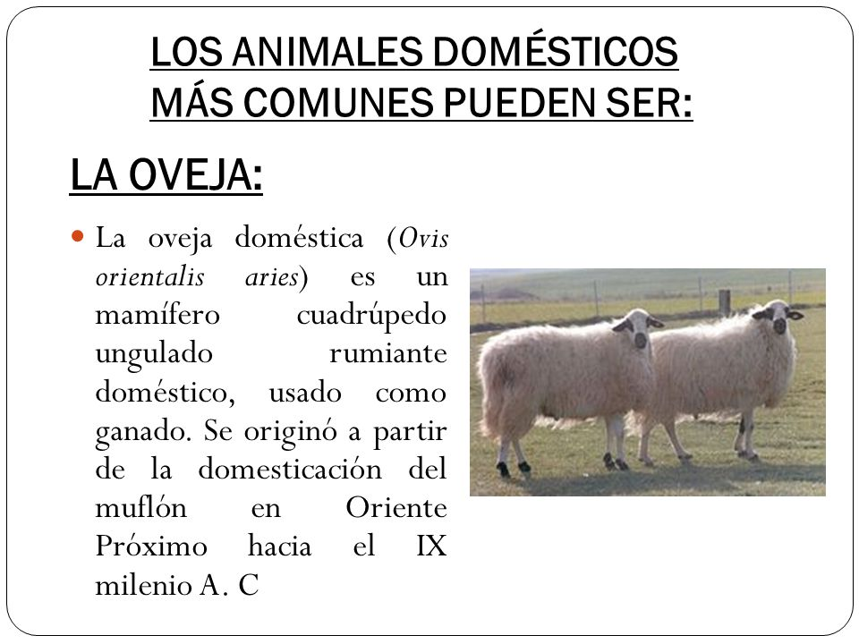 LOS ANIMALES DOMÉSTICOS MÁS COMUNES PUEDEN SER: La oveja doméstica (Ovis orientalis aries) es un mamífero cuadrúpedo ungulado rumiante doméstico, usad