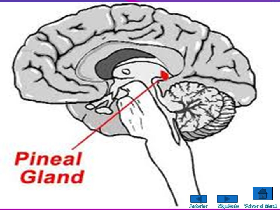 El sistema endocrino está formado por una serie de glándulas que liberan un tipo de sustancias llamadas hormonas; es decir, es el sistema de las glánd
