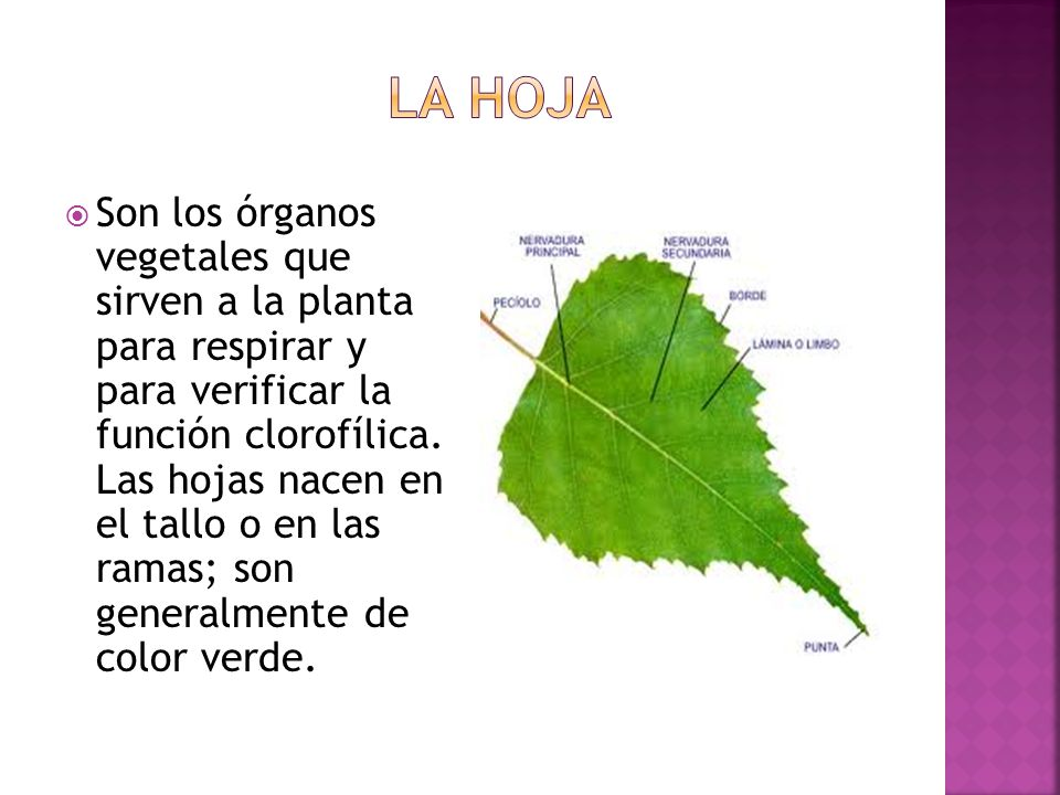 Son los órganos vegetales que sirven a la planta para respirar y para verificar la función clorofílica.