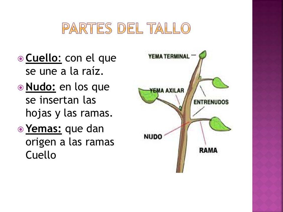 Cuello: con el que se une a la raíz.Nudo: en los que se insertan las hojas y las ramas.
