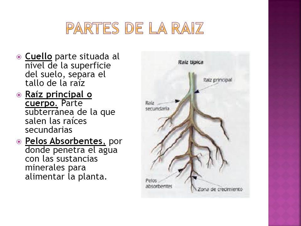 Cuello parte situada al nivel de la superficie del suelo, separa el tallo de la raíz Raíz principal o cuerpo.