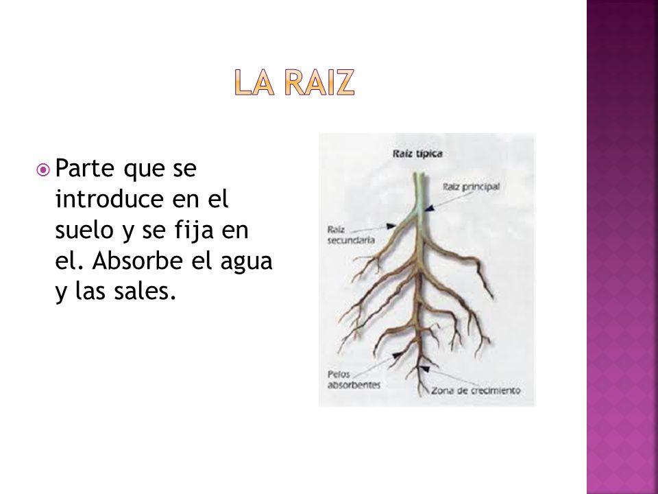 Es la parte de la planta que crece en sentido contrario al de la raíz, de abajo hacia arriba, del tallo se sostienen las hojas.