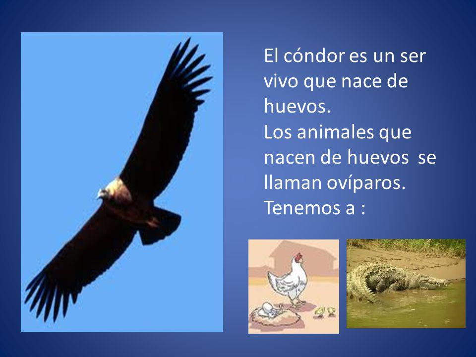 El cóndor es un ser vivo que nace de huevos. Los animales que nacen de huevos se llaman ovíparos. Tenemos a :
