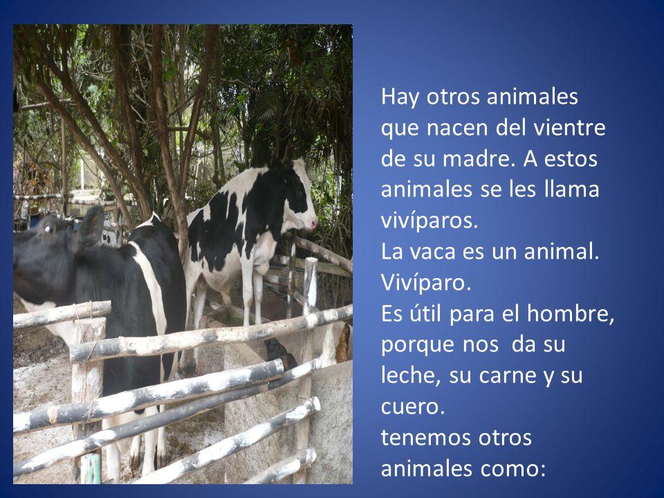 Hay otros animales que nacen del vientre de su madre. A estos animales se les llama vivíparos. La vaca es un animal. Vivíparo. Es útil para el hombre,