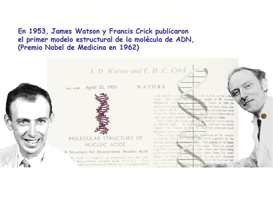 En 1953, James Watson y Francis Crick publicaron el primer modelo estructural de la molécula de ADN, (Premio Nobel de Medicina en 1962)