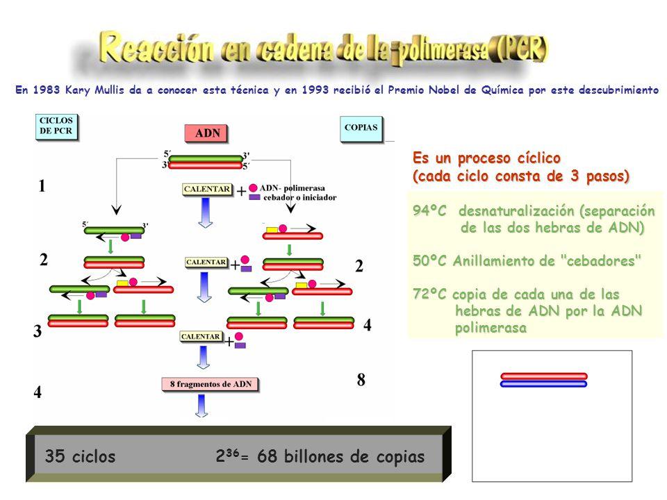 Es un proceso cíclico (cada ciclo consta de 3 pasos) 94ºC desnaturalización (separación de las dos hebras de ADN) de las dos hebras de ADN) 50ºC Anillamiento de cebadores 72ºC copia de cada una de las hebras de ADN por la ADN hebras de ADN por la ADN polimerasa polimerasa En 1983 Kary Mullis da a conocer esta técnica y en 1993 recibió el Premio Nobel de Química por este descubrimiento 35 ciclos 2 36 = 68 billones de copias