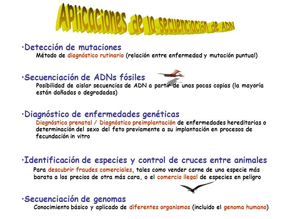 Detección de mutaciones Método de diagnóstico rutinario (relación entre enfermedad y mutación puntual) Secuenciación de ADNs fósiles Posibilidad de aislar secuencias de ADN a partir de unas pocas copias (la mayoría están dañadas o degradadas) Diagnóstico de enfermedades genéticas Diagnóstico prenatal / Diagnóstico preimplantación de enfermedades hereditarias o determinación del sexo del feto previamente a su implantación en procesos de fecundación in vitro Identificación de especies y control de cruces entre animales Para descubrir fraudes comerciales, tales como vender carne de una especie más barata a los precios de otra más cara, o el comercio ilegal de especies en peligro Secuenciación de genomas Conocimiento básico y aplicado de diferentes organismos (incluido el genoma humano)
