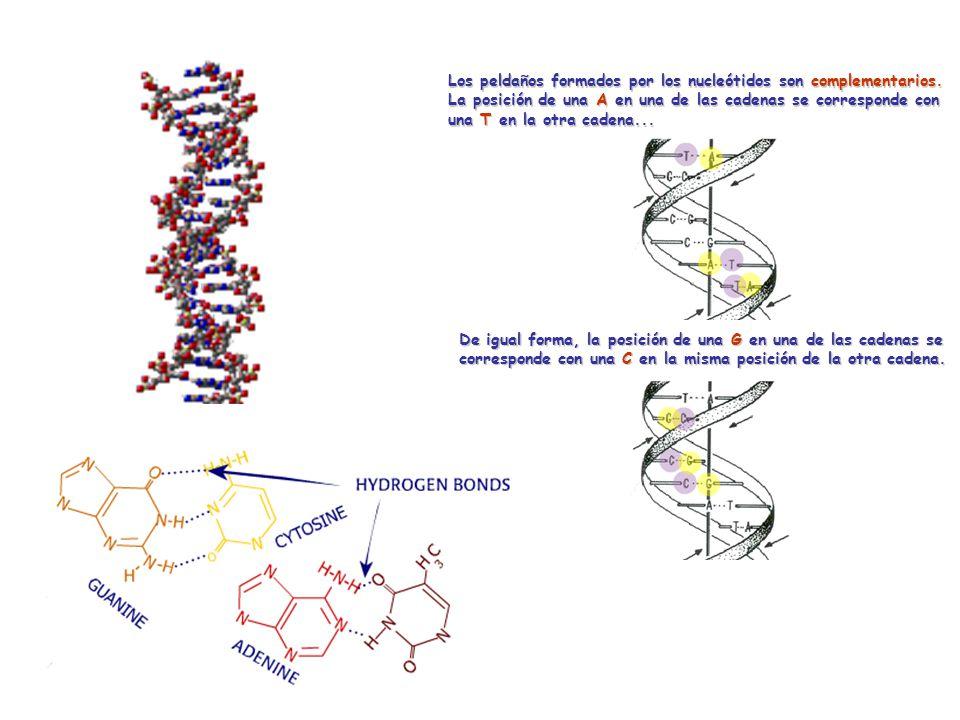 Unidad básica: nucleótido Los peldaños formados por los nucleótidos son complementarios.