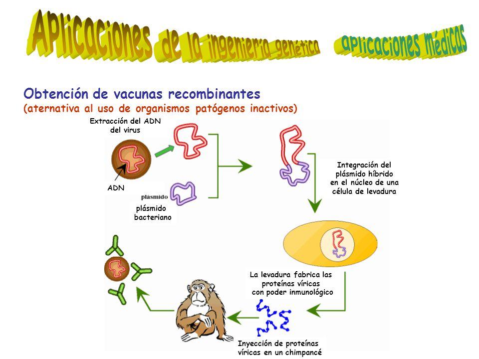 Obtención de vacunas recombinantes (aternativa al uso de organismos patógenos inactivos) La levadura fabrica las proteínas víricas con poder inmunológico Inyección de proteínas víricas en un chimpancé plásmido bacteriano Integración del plásmido híbrido en el núcleo de una célula de levadura ADN Extracción del ADN del virus