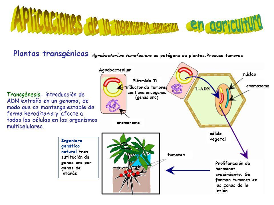 Plantas transgénicas tumores célula vegetal Proliferación de hormonas crecimiento.