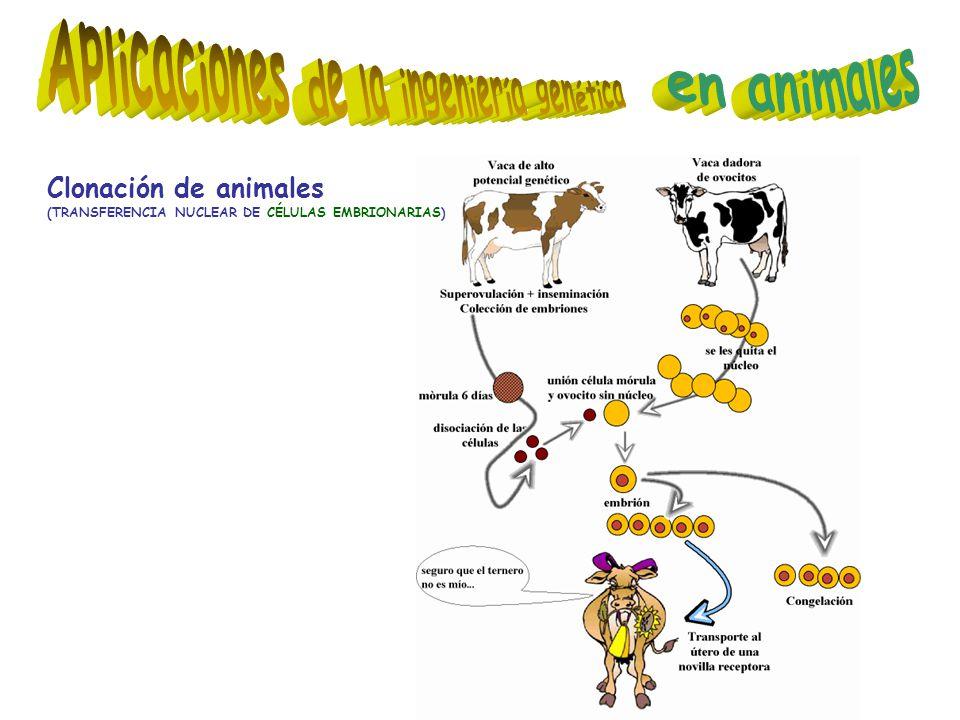 Clonación de animales (TRANSFERENCIA NUCLEAR DE CÉLULAS EMBRIONARIAS)