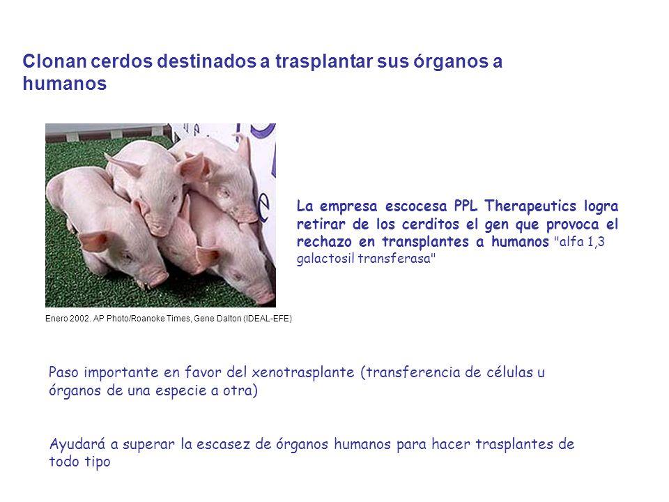 Clonan cerdos destinados a trasplantar sus órganos a humanos La empresa escocesa PPL Therapeutics logra retirar de los cerditos el gen que provoca el rechazo en transplantes a humanos alfa 1,3 galactosil transferasa Enero 2002.