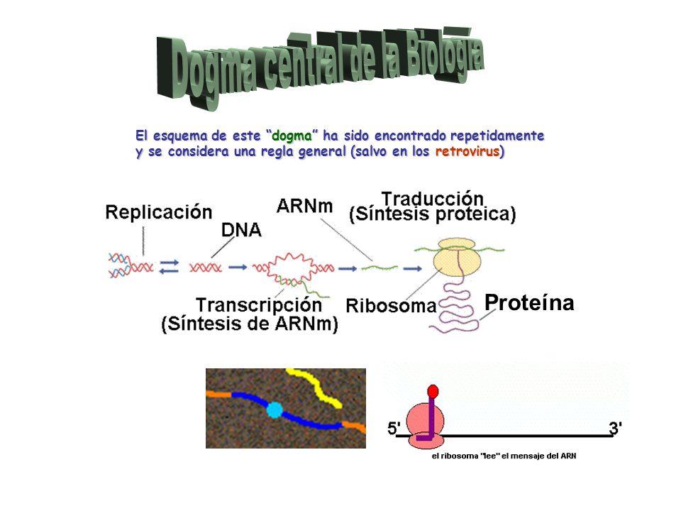 El esquema de este dogma ha sido encontrado repetidamente y se considera una regla general (salvo en los retrovirus) Proteína