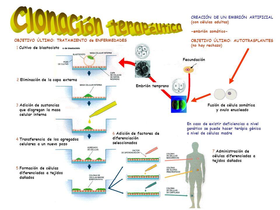 En caso de existir deficiencias a nivel genético se puede hacer terápia génica a nivel de células madre 1 Cultivo de blastocisto Fecundación Embrión temprano 4 Transferencia de los agregados celulares a un nuevo pozo 5 Formación de células diferenciadas a tejidos dañados 3 Adición de sustancias que disgregan la masa celular interna 2 Eliminación de la capa externa 6 Adición de factores de diferenciación seleccionados 7 Administración de células diferenciadas a tejidos dañados CREACIÓN DE UN EMBRIÓN ARTIFICIAL (con células adultas) -embrión somático- OBJETIVO ÚLTIMO: AUTOTRASPLANTES (no hay rechazo) Fusión de célula somática y ovulo enucleado OBJETIVO ÚLTIMO: TRATAMIENTO de ENFERMEDADES
