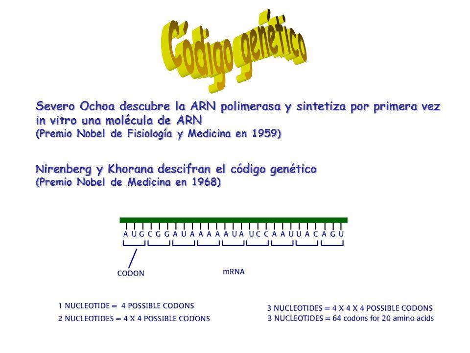 El código genético está compuesto por codones (codon= 3 bases nitrogenadas) que definen el proceso de traducción 61 codones para aminoácidos61 codones para aminoácidos (existen 20 aminoácidos diferentes) (existen 20 aminoácidos diferentes) 3 codones de terminación3 codones de terminación El código genético es universal El código genético es redundante (varios codones para un mismo aminoácido) Ejemplo: El aminoácido glicina está codificado por GGU, GGC, GGA y GGG