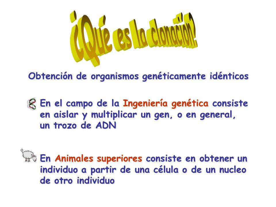 En el campo de la Ingeniería genética consiste en aislar y multiplicar un gen, o en general, un trozo de ADN En Animales superiores consiste en obtener un individuo a partir de una célula o de un nucleo de otro individuo Obtención de organismos genéticamente idénticos