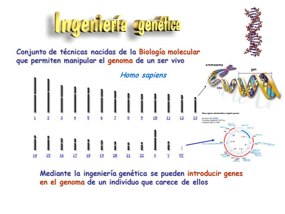 Conjunto de técnicas nacidas de la Biología molecular que permiten manipular el genoma de un ser vivo Homo sapiens Escherichia coli Mediante la ingeniería genética se pueden introducir genes en el genoma de un individuo que carece de ellos cromosoma gen