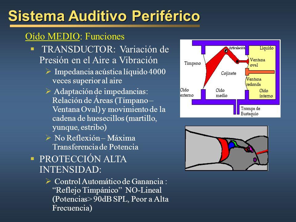 Oído MEDIO: Funciones TRANSDUCTOR: Variación de Presión en el Aire a Vibración Impedancia acústica líquido 4000 veces superior al aire Adaptación de impedancias: Relación de Áreas (Tímpano – Ventana Oval) y movimiento de la cadena de huesecillos (martillo, yunque, estribo) No Reflexión – Máxima Transferencia de Potencia PROTECCIÓN ALTA INTENSIDAD: Control Automático de Ganancia : Reflejo Timpánico NO-Lineal (Potencias> 90dB SPL, Peor a Alta Frecuencia) Sistema Auditivo Periférico