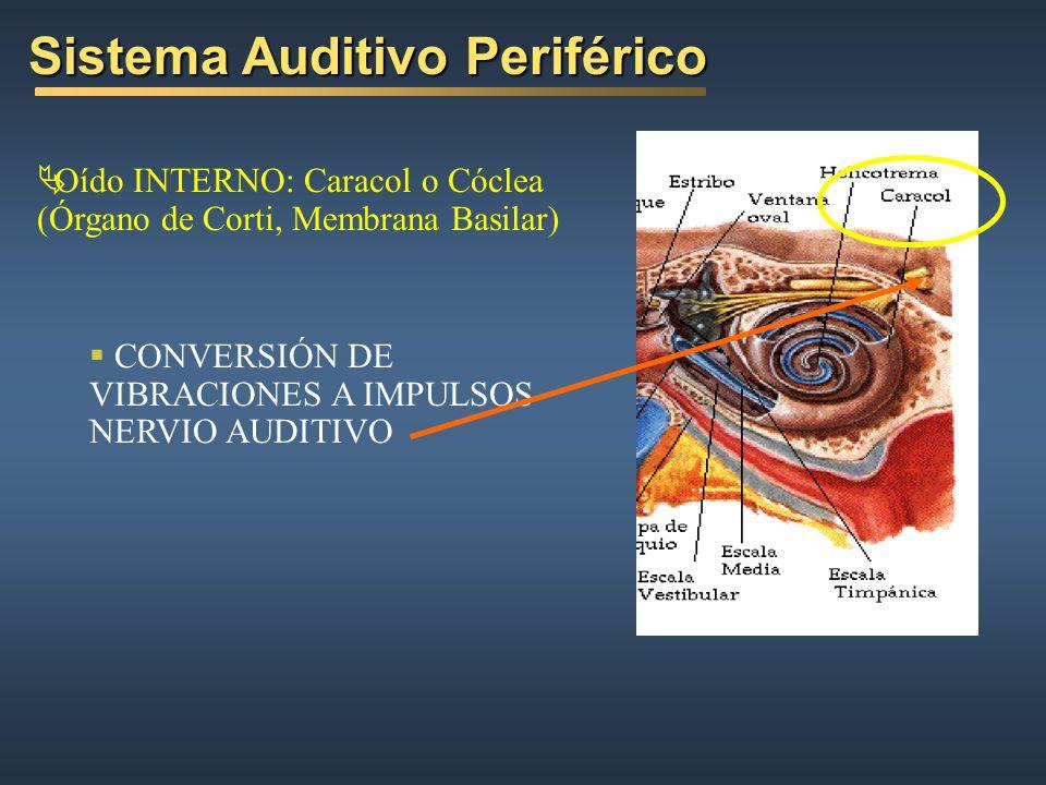 Oído INTERNO: Caracol o Cóclea (Órgano de Corti, Membrana Basilar) CONVERSIÓN DE VIBRACIONES A IMPULSOS NERVIO AUDITIVO