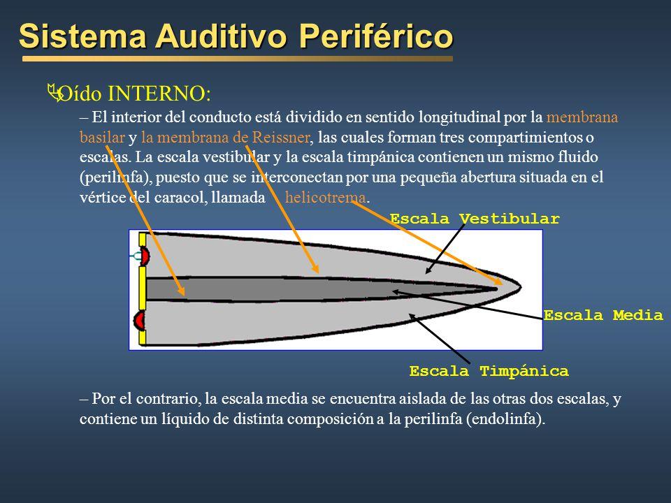 Sistema Auditivo Periférico Oído INTERNO: – El interior del conducto está dividido en sentido longitudinal por la membrana basilar y la membrana de Reissner, las cuales forman tres compartimientos o escalas.