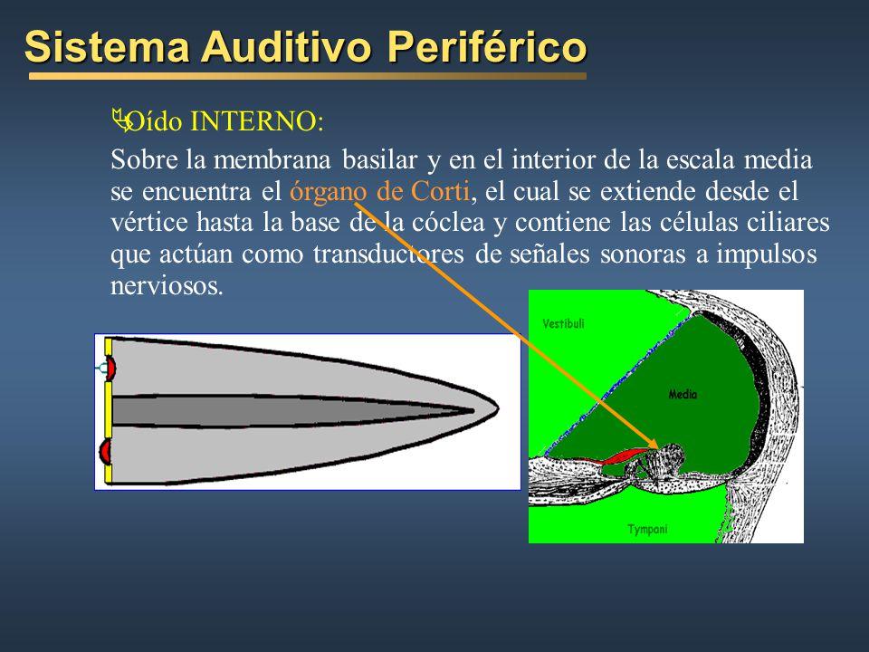 Sistema Auditivo Periférico Oído INTERNO: Sobre la membrana basilar y en el interior de la escala media se encuentra el órgano de Corti, el cual se extiende desde el vértice hasta la base de la cóclea y contiene las células ciliares que actúan como transductores de señales sonoras a impulsos nerviosos.