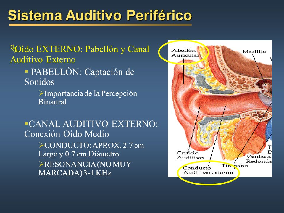 Sistema Auditivo Periférico RESPUESTA EN FRECUENCIA DEL OÍDO EXTERNO http://www.harbeth.co.uk/How_we_hear.htm This graph, Response of the outer ear, shows the effect of the physical arrangement of our torso, neck, pinna, concha and ear canal and drum which conveniently (for nature) combine to give a dramatic +20dB boost to those sounds in the 3-4kHz region