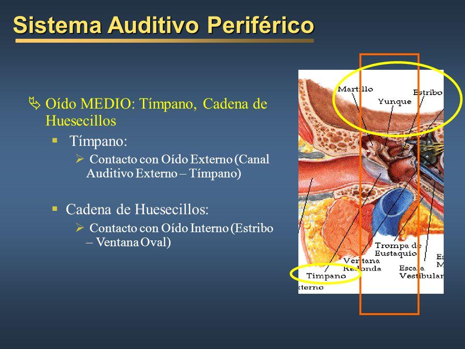 Oído MEDIO: Tímpano, Cadena de Huesecillos Tímpano: Contacto con Oído Externo (Canal Auditivo Externo – Tímpano) Cadena de Huesecillos: Contacto con Oído Interno (Estribo – Ventana Oval) Sistema Auditivo Periférico