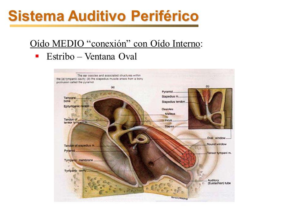 Oído MEDIO conexión con Oído Interno: Estribo – Ventana Oval Sistema Auditivo Periférico