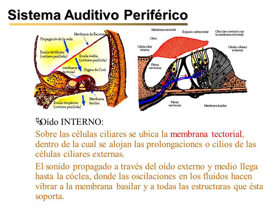 Sistema Auditivo Periférico Oído INTERNO: Sobre las células ciliares se ubica la membrana tectorial, dentro de la cual se alojan las prolongaciones o cilios de las células ciliares externas.