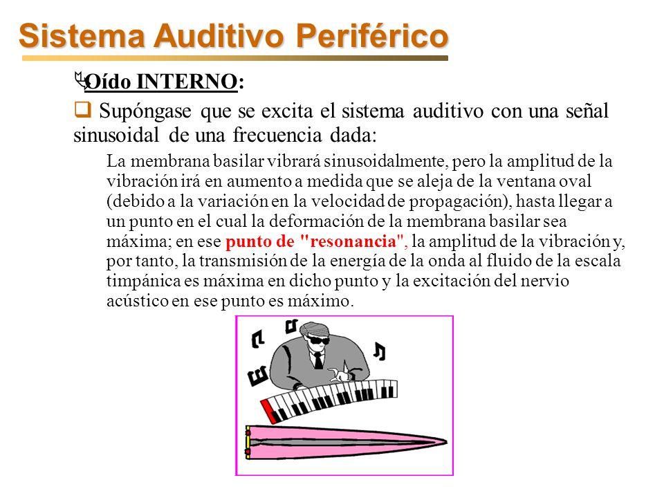 Sistema Auditivo Periférico Oído INTERNO: Supóngase que se excita el sistema auditivo con una señal sinusoidal de una frecuencia dada: La membrana basilar vibrará sinusoidalmente, pero la amplitud de la vibración irá en aumento a medida que se aleja de la ventana oval (debido a la variación en la velocidad de propagación), hasta llegar a un punto en el cual la deformación de la membrana basilar sea máxima; en ese punto de resonancia , la amplitud de la vibración y, por tanto, la transmisión de la energía de la onda al fluido de la escala timpánica es máxima en dicho punto y la excitación del nervio acústico en ese punto es máximo.