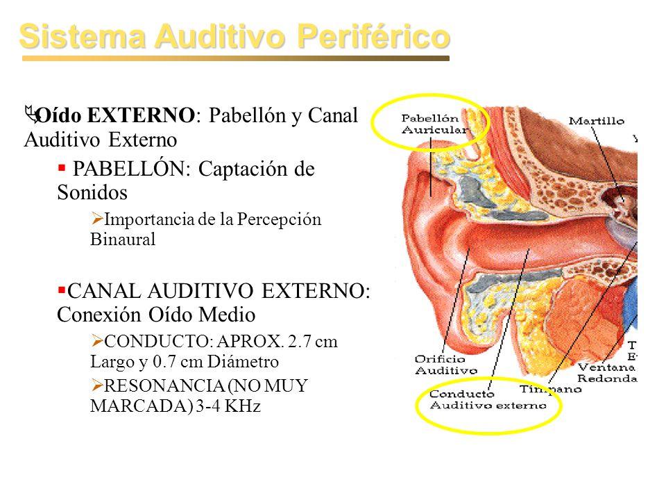 Sistema Auditivo Periférico Oído EXTERNO: Pabellón y Canal Auditivo Externo PABELLÓN: Captación de Sonidos Importancia de la Percepción Binaural CANAL AUDITIVO EXTERNO: Conexión Oído Medio CONDUCTO: APROX.