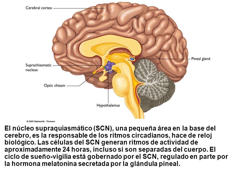 El núcleo supraquiasmático (SCN), una pequeña área en la base del cerebro, es la responsable de los ritmos circadianos, hace de reloj biológico.