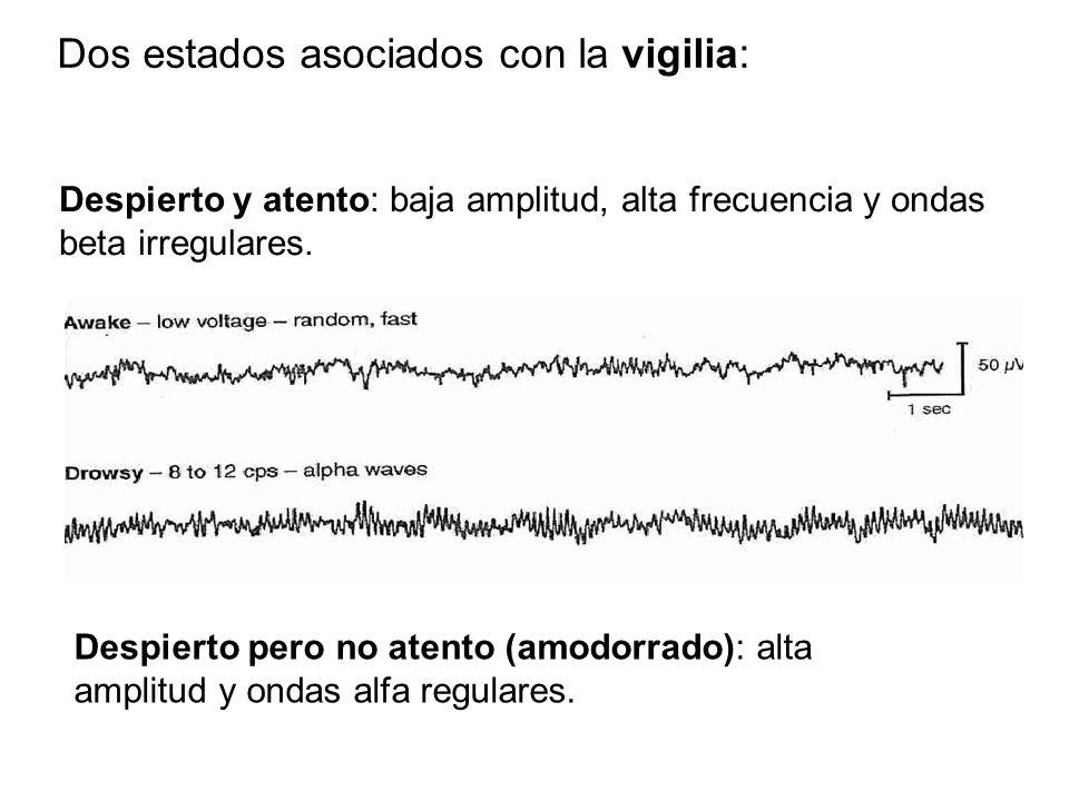 Despierto pero no atento (amodorrado): alta amplitud y ondas alfa regulares.