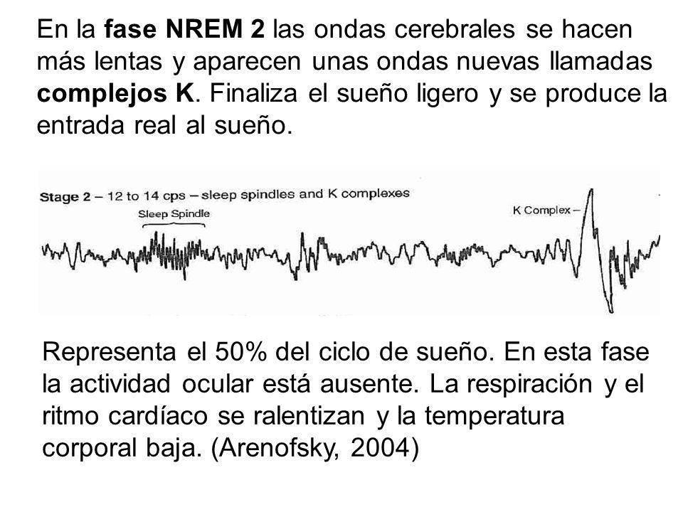 En la fase NREM 2 las ondas cerebrales se hacen más lentas y aparecen unas ondas nuevas llamadas complejos K.
