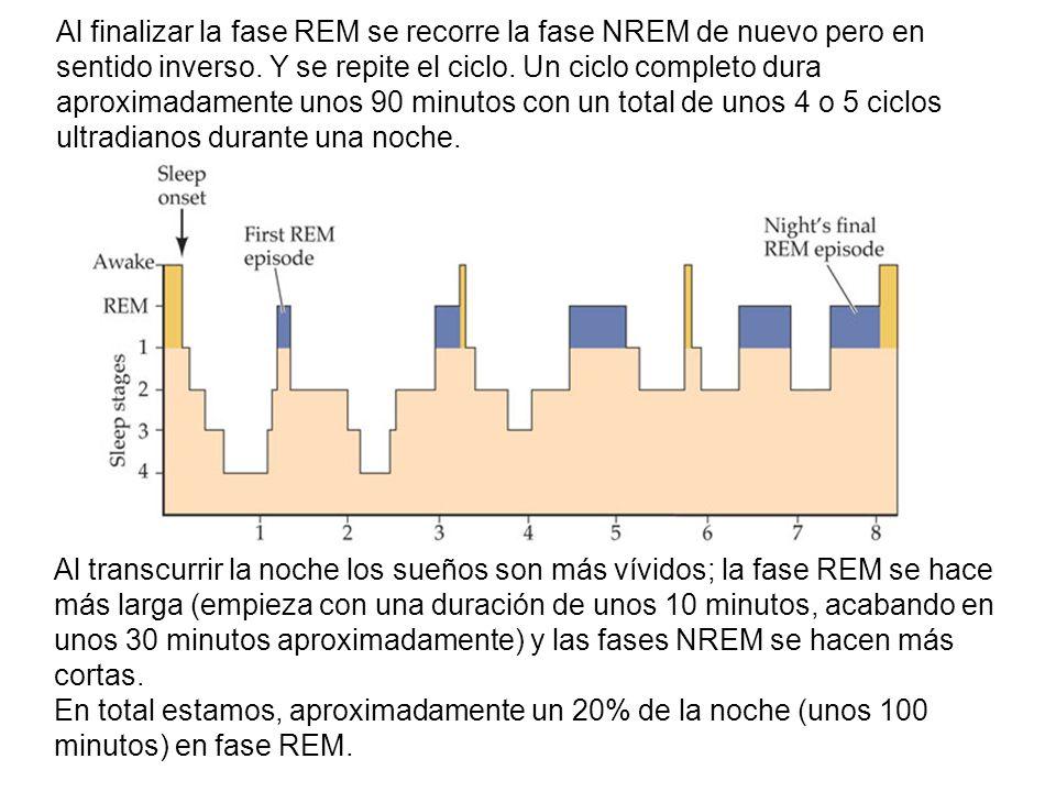 Al finalizar la fase REM se recorre la fase NREM de nuevo pero en sentido inverso.