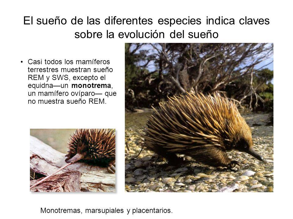 El sueño de las diferentes especies indica claves sobre la evolución del sueño Casi todos los mamíferos terrestres muestran sueño REM y SWS, excepto el equidnaun monotrema, un mamífero ovíparo que no muestra sueño REM.