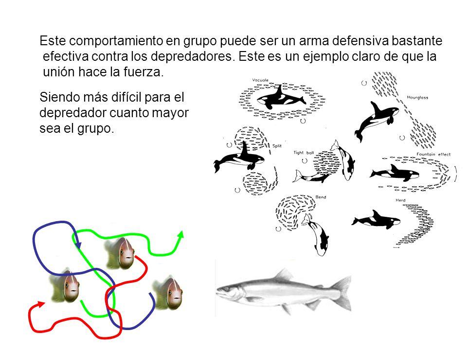Este comportamiento en grupo puede ser un arma defensiva bastante efectiva contra los depredadores.