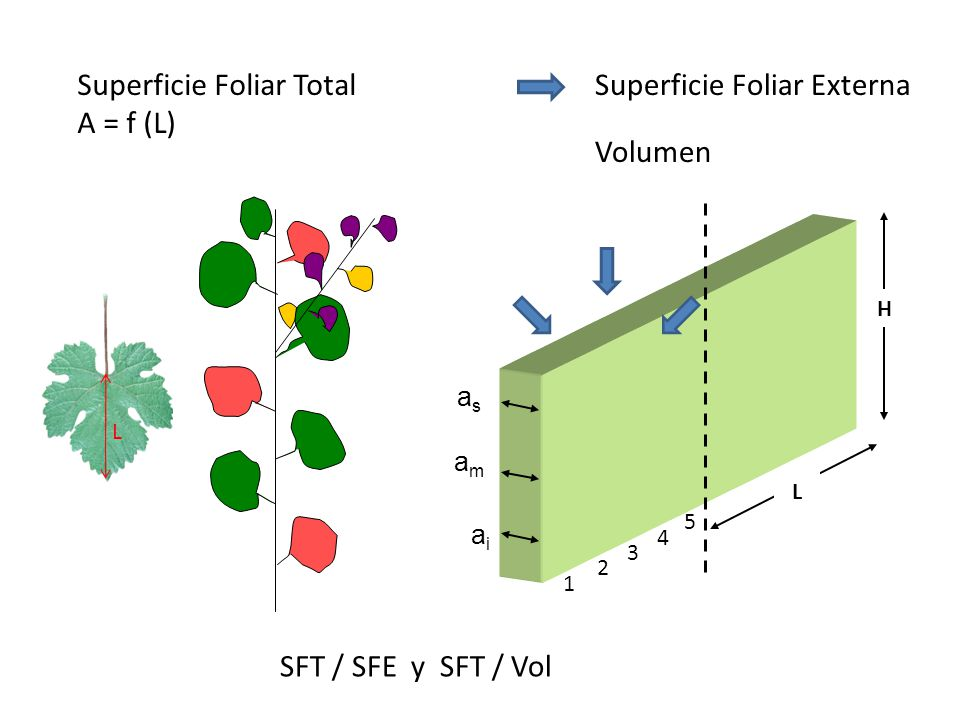 amam asas H L aiai 1 2 3 4 5 Superficie Foliar Total A = f (L) Superficie Foliar Externa Volumen L SFT / SFE y SFT / Vol