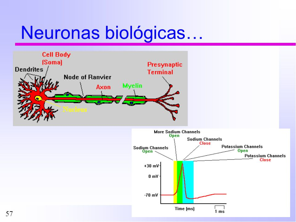 57 Neuronas biológicas…