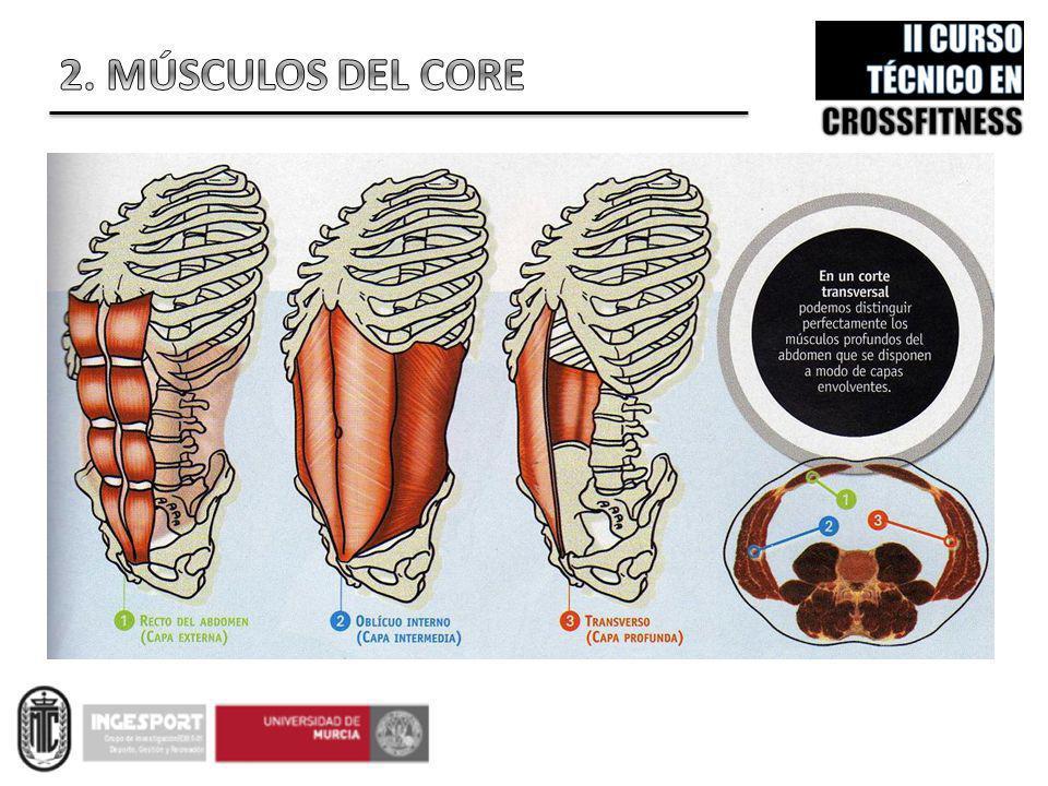 Funcionalmente, los músculos abdominales forman un verdadero corsé anatómico en el tronco.