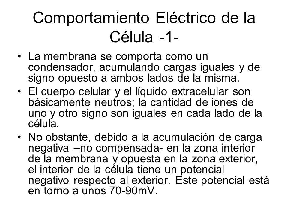 Comportamiento Eléctrico de la Célula -2- La cantidad de carga involucrada en generar el potencial celular, es decir, la cantidad de carga acumulada en ambas superficies de la membrana, es insignificante comparada con la cantidad total de iones contenidos en la célula: La actividad eléctrica de la célula puede tener lugar sin prácticamente cambiar a las concentraciones globales de electrolitos, no afectando, por tanto, a la actividad metabólica.
