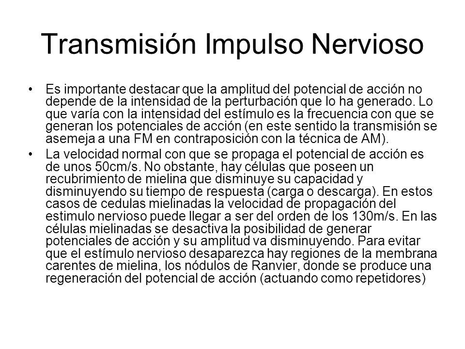 Transmisión Impulso Nervioso Es importante destacar que la amplitud del potencial de acción no depende de la intensidad de la perturbación que lo ha g